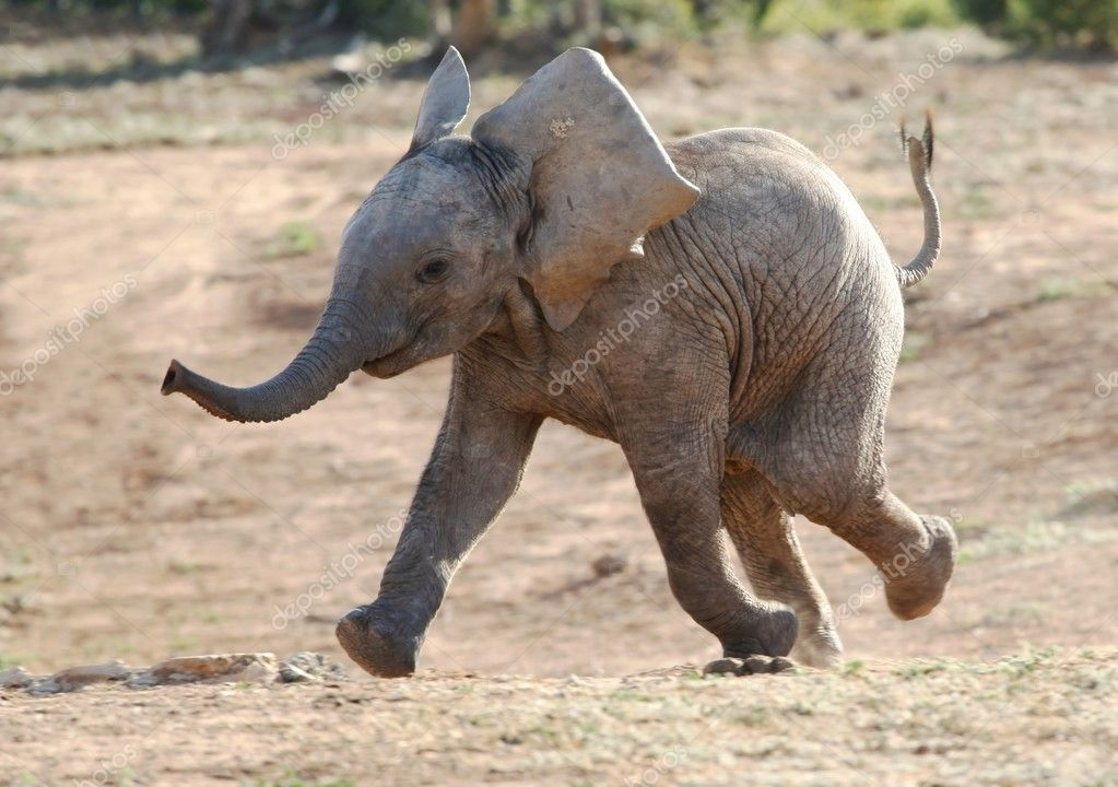 Excited baby African elephant running to a waterhole stock vector