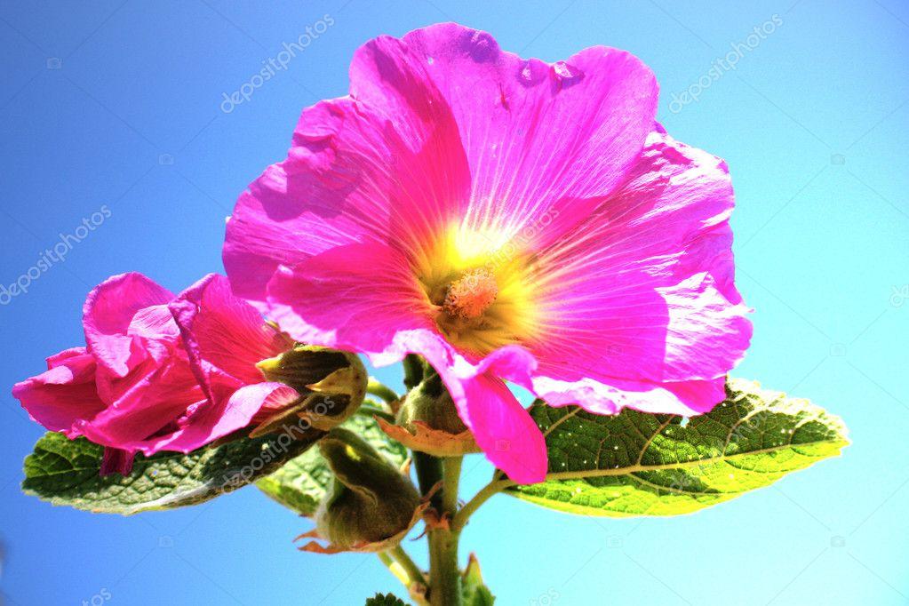 flor hermosa rosa malva foto de stock aluha123 3516853