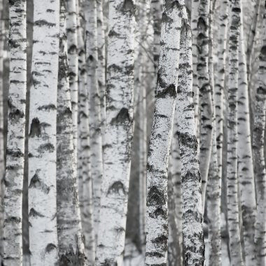 Birch Tree Forest Large Background