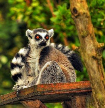 A Ring Tailed Lemur, Lemur Catta