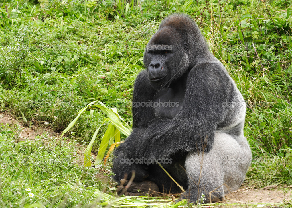 An Adult Silverback Male Gorilla
