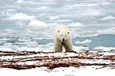 Fotografie Polar Bear
