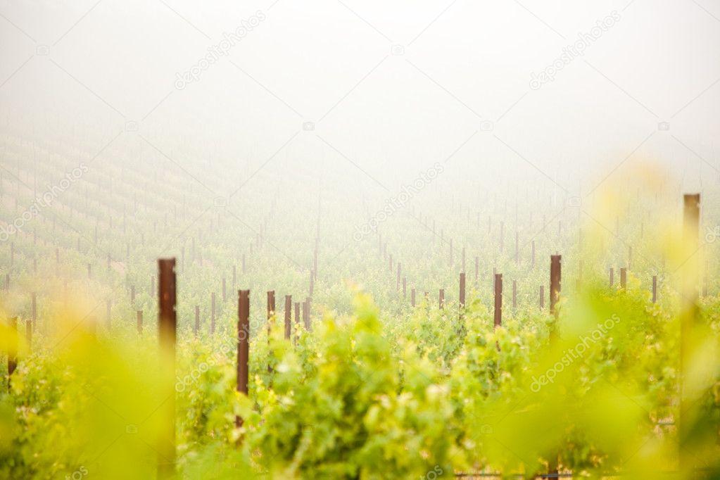 Beautiful Lush Grape Vineyard In The Mist