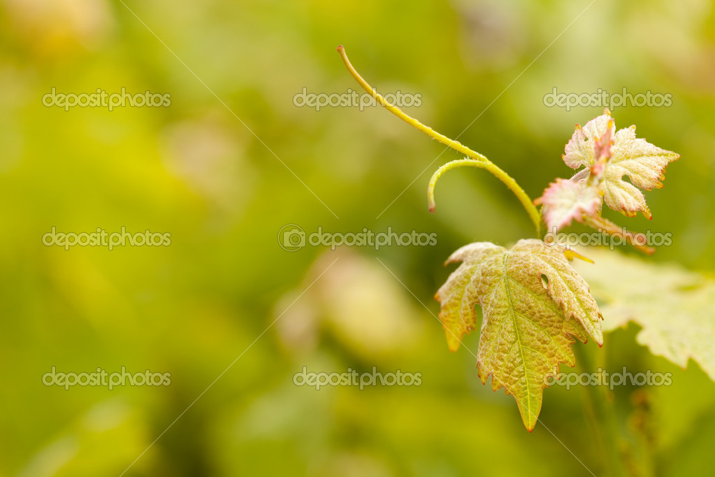 Beautiful Grape Vineyard Leaves In The Mist