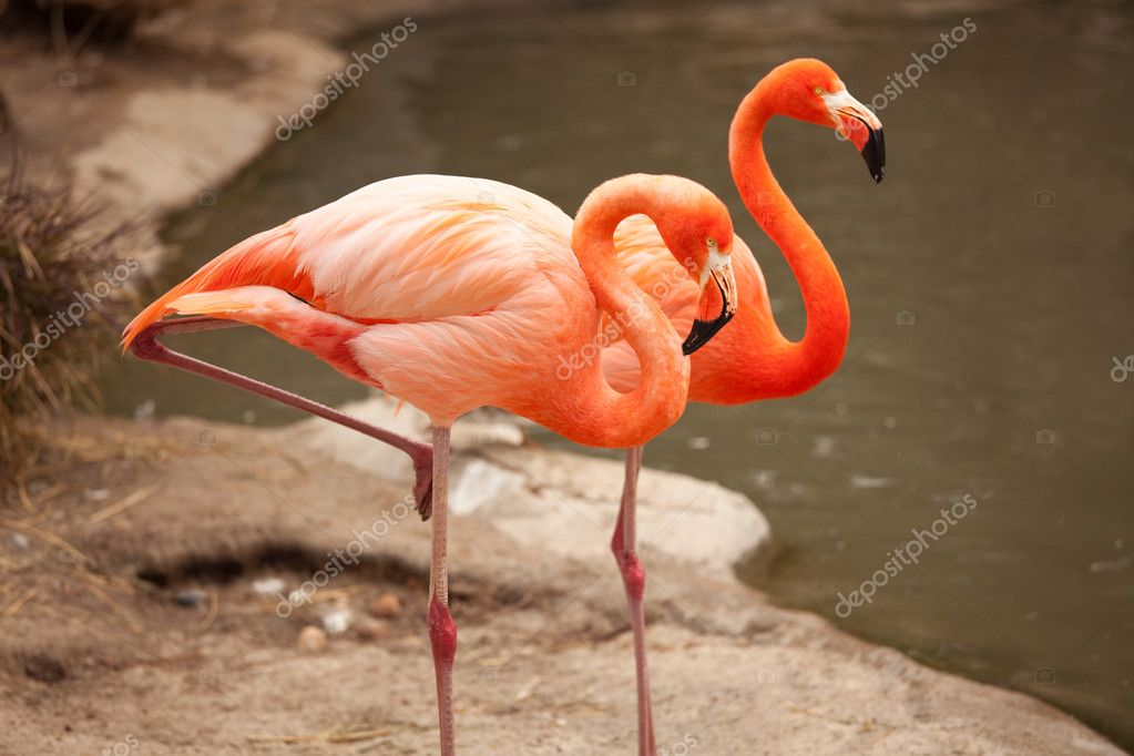 Beautiful Flamingo Couple Resting on the Shoreline