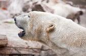 Fotografie Beautiful Majestic White Polar Bear