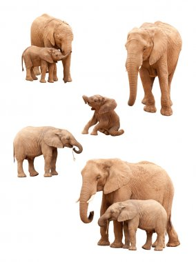 Set of Baby and Adult Elephants Isolated on a White Background.
