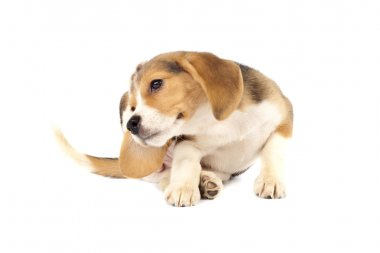 Beagle puppy scratching