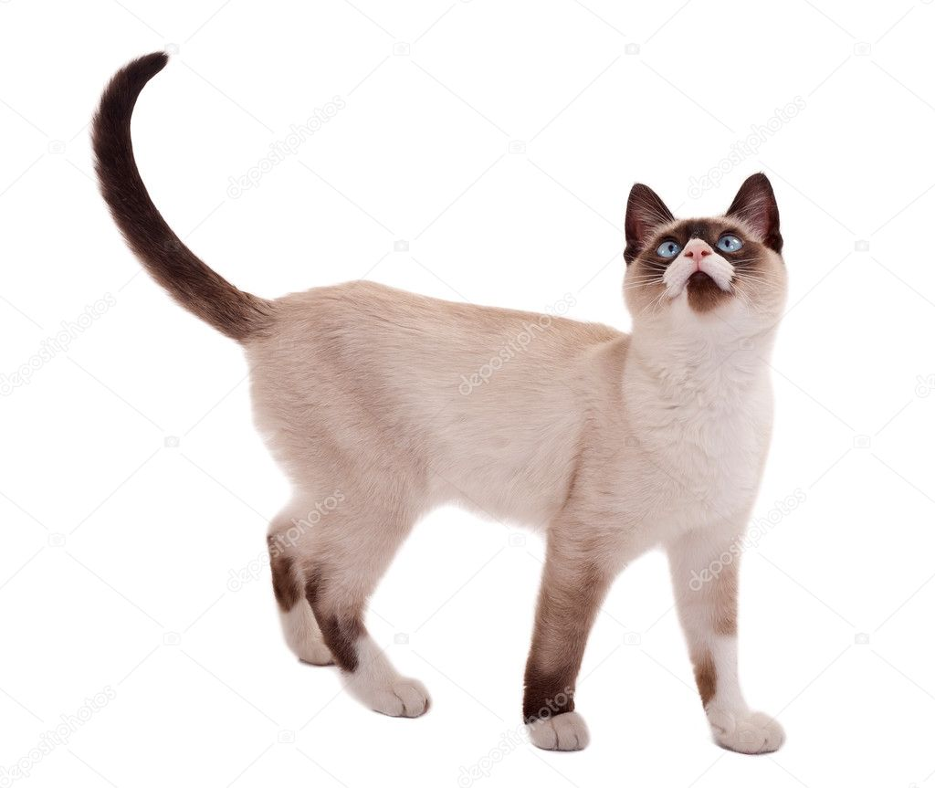 Siamese Looking Cat Breeds