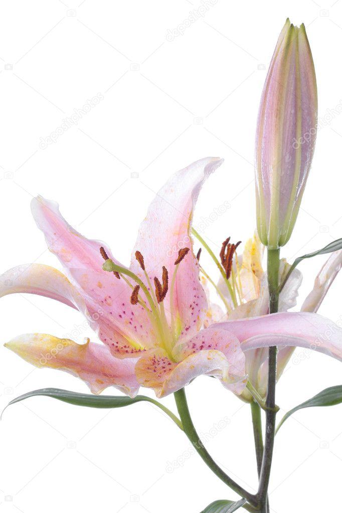 rosa lilienblume weiß — Stockfoto © Strobos #2826224