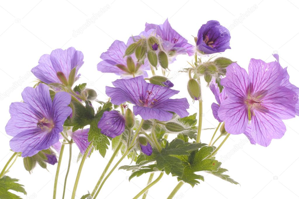 Purple flowers over white background stock photo strobos 3324386 purple flowers over white background stock photo mightylinksfo