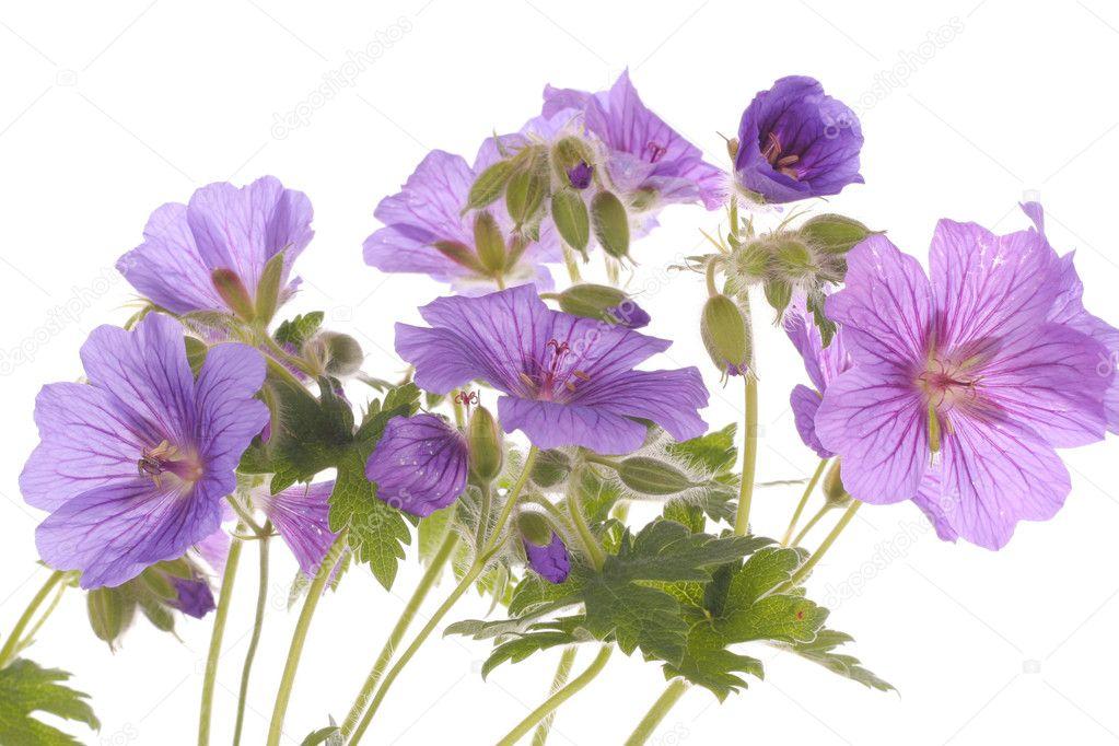 Purple flowers over white background stock photo strobos 3324386 purple flowers over white background stock photo mightylinksfo Choice Image