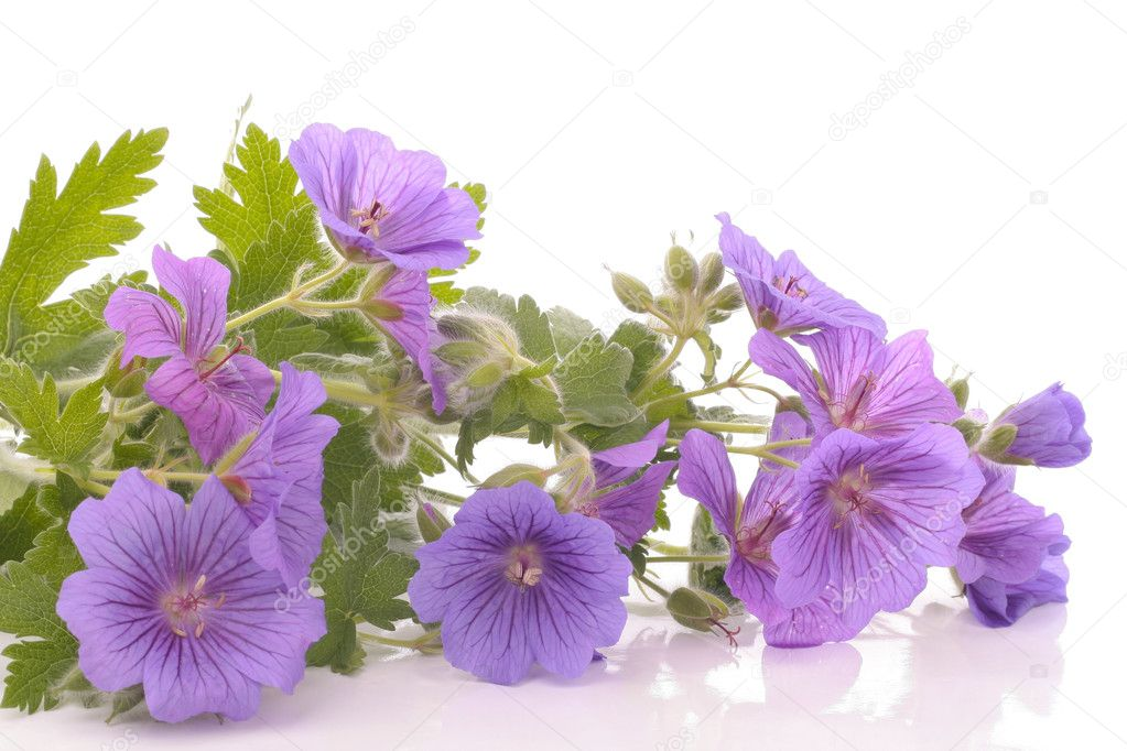 Purple Flowers Over White Background Stock Photo 3340779