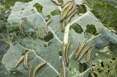 Cabbage leaf covered with caterpillas pest