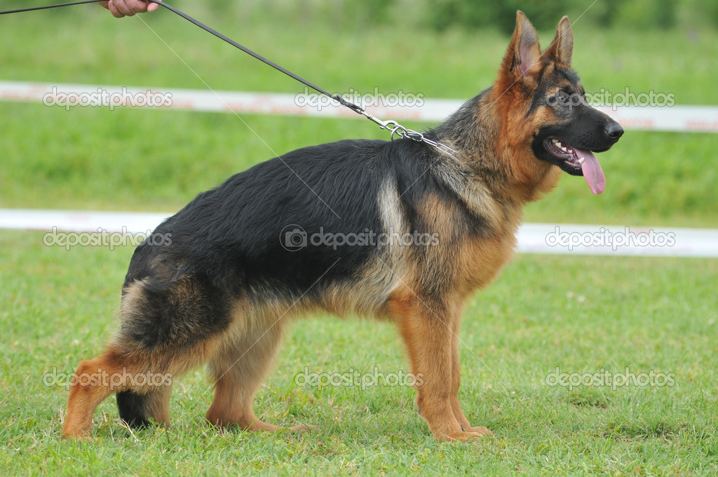 Beautiful German shepherd dog in the dog show