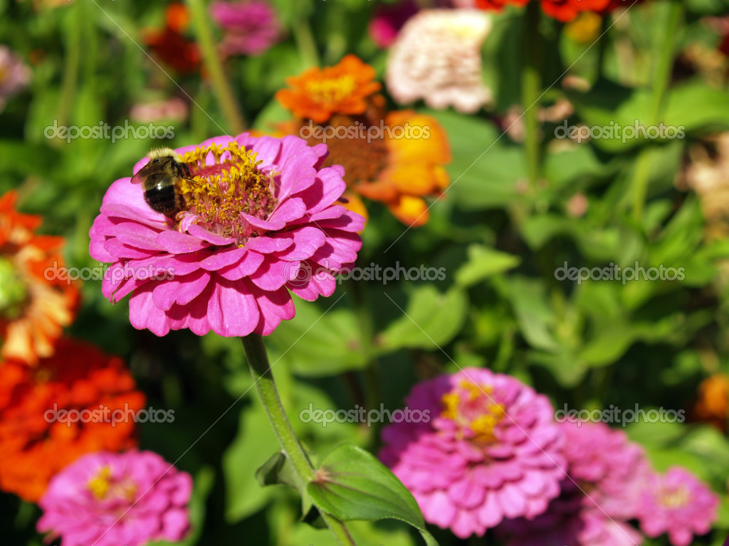 A Garden of Multi-Colored Marigolds in Full Bloom and a Bumblebee