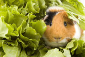 Photo Guinea pig is sitting between endive