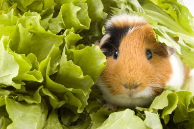 Guinea pig is sitting between endive