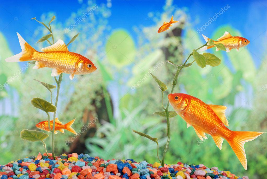 Acquario con pesci rossi foto stock mcgphoto 3659110 for Vaschetta per pesci rossi prezzi