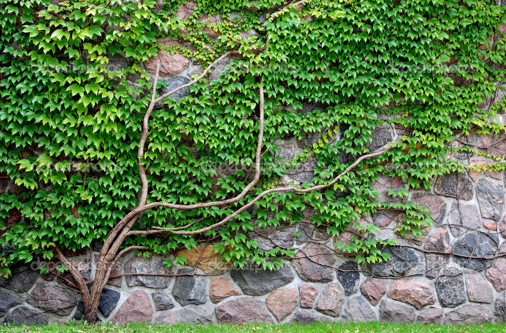Vine growing on a rock wall
