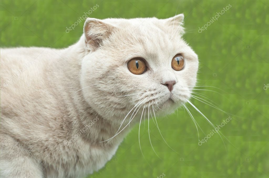 British fold cat
