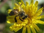Fotografie včela na květ