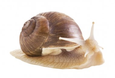 Edible snail on a white background