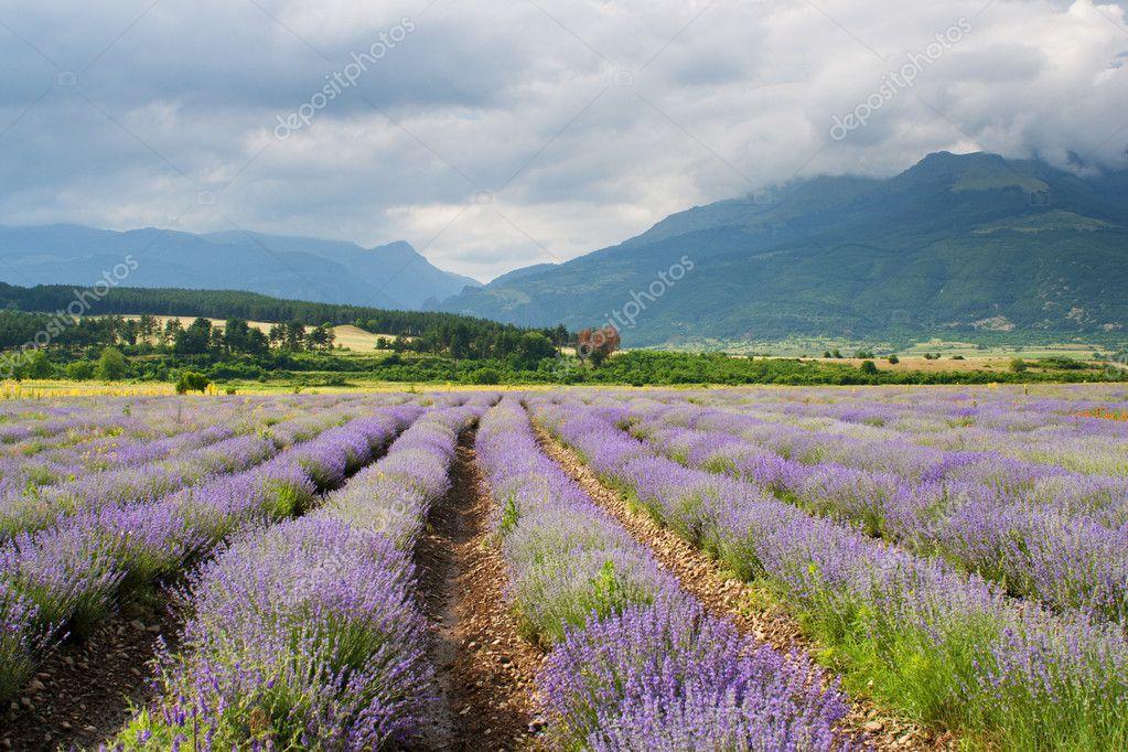 Purple landscape at a lavender farm. Lavender field
