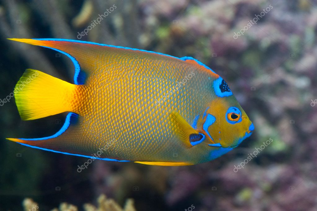 A colorful emperor fish