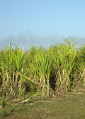 Photo Sugar cane