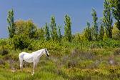 Fotografie Camargue-Pferd