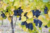 vinice v České republice