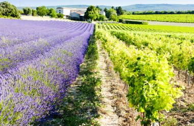 Lavender field with vineyard