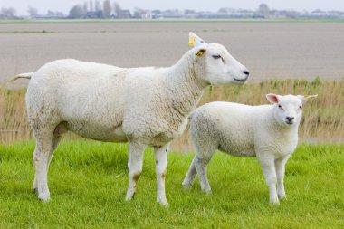 Sheep with a lamb