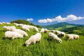 Fotografie stádo ovcí