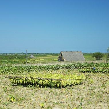 Tobacco harvest, Pinar del R