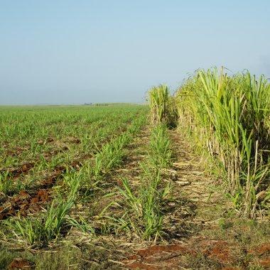 Sugar cane field, Ren