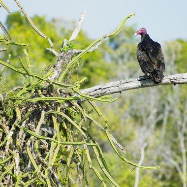 Bird of prey, Cayo Sabinal, Camaguey Province, Cuba