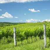 vinice hnanice, Znojemsku, czech republic