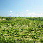 vinice zvané peklo, Znojemsku, Česká republika