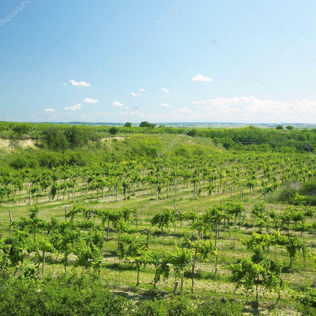 Vineyard called Peklo, Znojmo Region, Czech Republic