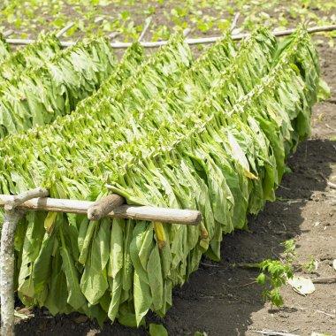 Tobacco harvest, Ciego de