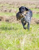 Fotografie lovecký pes s catch