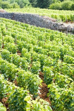 Vineyard near Brochon, Cote de Nuits, Burgundy, France stock vector