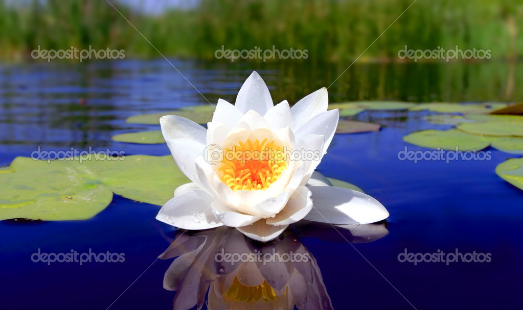 Nice water lily flower