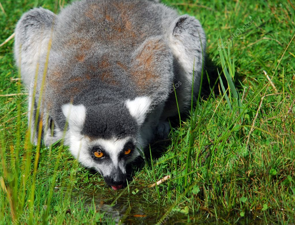 Ring-tailed Lemur (Lemur catta) — Stock Photo © nialat ...