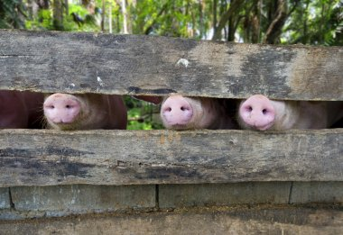 Close-up of three pig snouts