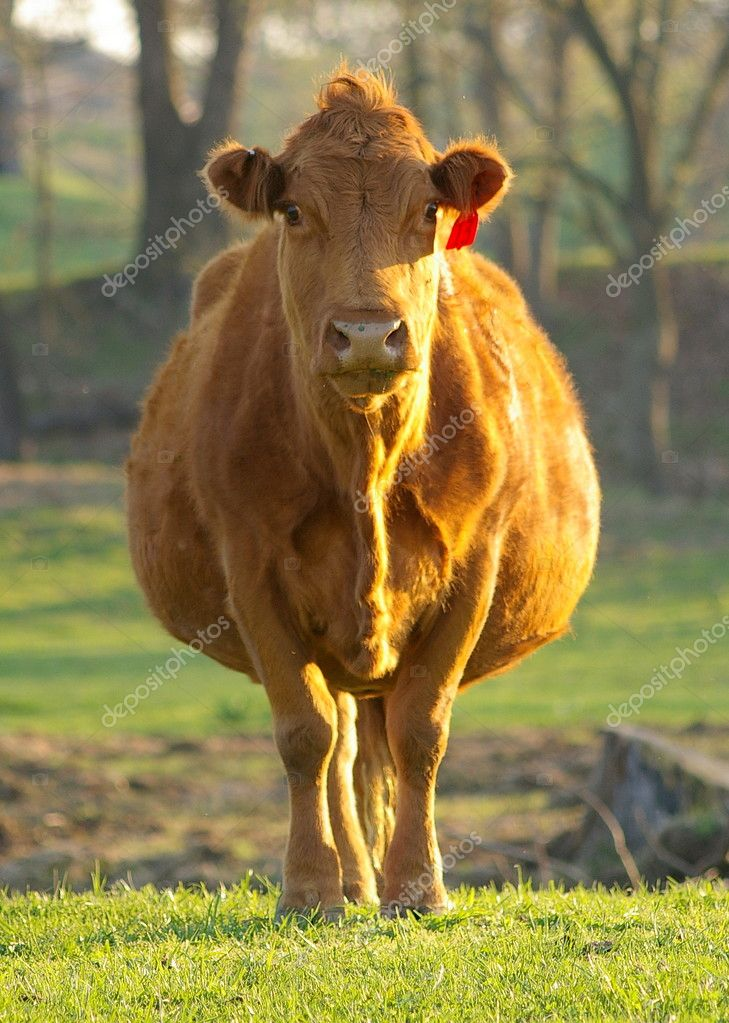 Big Fat Cow