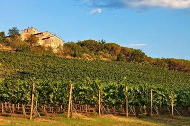 Tuscany, vineyard on hill.