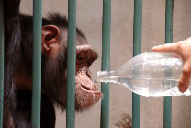 Monkey drinking water